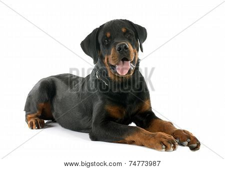 Young Rottweiler