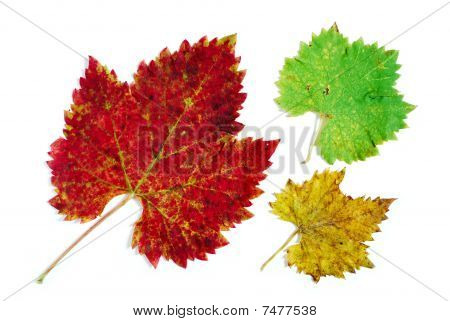 Green, Yellow And Red Grape Leaves