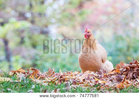 Chicken With Woods And Autumn Leaves