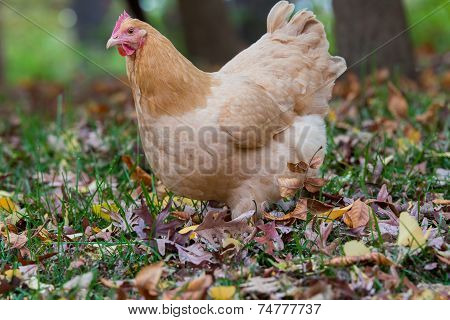 Close Up Of Hen In Woods