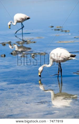 Flamingo, Laguna Blanca, Bolivia