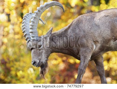 Male Siberian Ibex During Fall