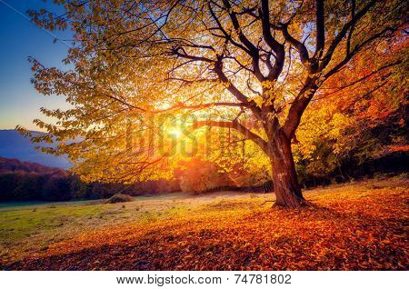 Majestic alone beech tree on