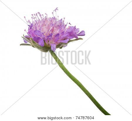 small lilac Field Scabious flower isolated on white background