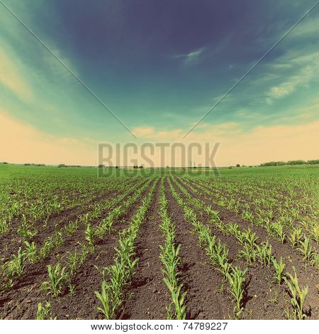 agriculture landscape with corn field - vintage retro style