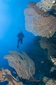 picture of molly  - Giant sea fan  - JPG