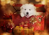 stock photo of vertebrate  - An adorable Samoyed puppy in a Christmas box - JPG