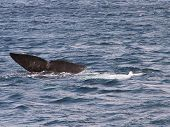 image of whale-tail  - The tail fin of a Southern Right Whale off the coast of Puerto Madryn - JPG