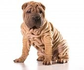 picture of shar-pei puppy  - chinese shar pei sitting isolated on white background - JPG
