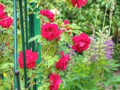 image of climbing roses  - Bright red climbing roses in the summer garden - JPG