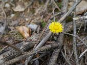pic of heliotrope  - coltsfoot flowers in spring between branches on the ground - JPG
