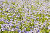 pic of lilas  - Field of lila wildflowers in green flowerbed for honey bees - JPG