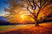 stock photo of morning  - Majestic alone beech tree on a hill slope with sunny beams at mountain valley - JPG