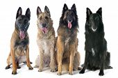 foto of belgian shepherd  - four belgian shepherds in front of white background - JPG
