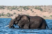 picture of sub-saharan  - Elephant crossing the Chobe river from the island to the main land - JPG