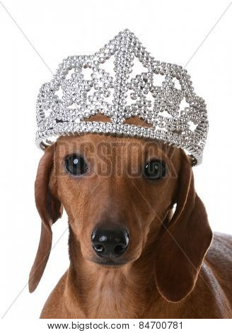 spoiled dog - miniature dachshund wearing tiara on white background