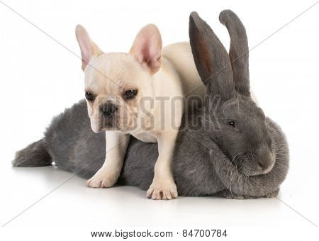 bunny and puppy - french bulldog puppy climbing over flemish bunny on white background