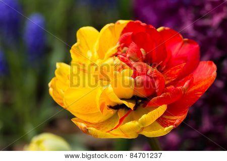 read and yellow tulips in Keukenhof park