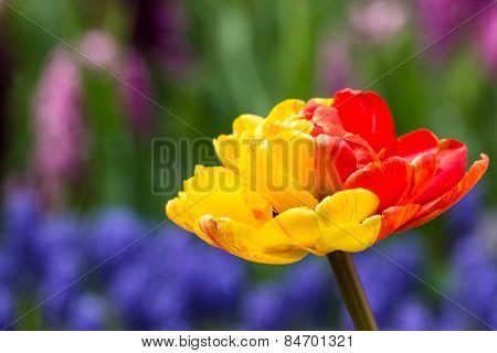 Red And Yellow Tulips In Keukenhof Park