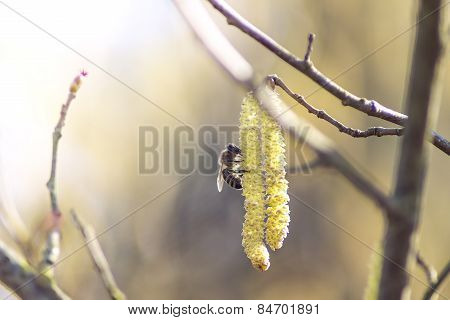 Twig Catkins Pollination By Bees