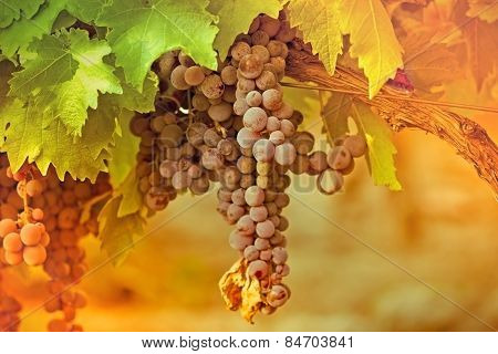 Purple red grapes in the vineyard