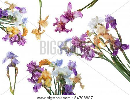 bouquet of  iris flowers isolated on white background