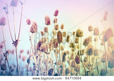 Field of dry thistle (burdock)