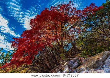Bright Red Leaves and Blue Skies at Lost Maples State Park, Texas