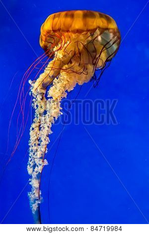The Large, Beautiful, Orange Pacific Sea Nettle Jellyfish.