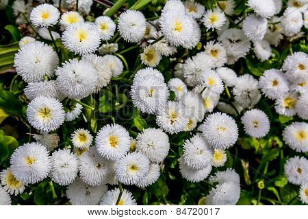 A Beautiful Bunch of Tiny Little White Button Flowers