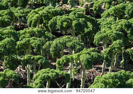 A field of kale, a leafy vegetable.