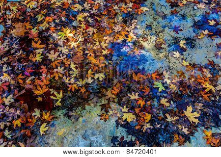 Bright Beautiful Fall Leaves Floating in a Creek in Lost Maples State Park, Texas