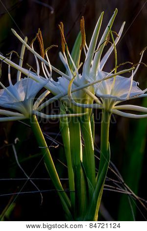 Spider Lilies Growing Wild in Texas