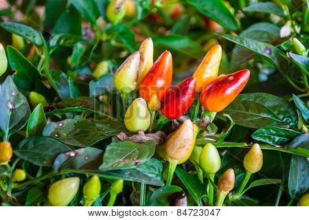 Colorful Ornamental Pepper