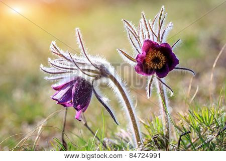 two pasque flowers in spring time on meadow, soft focus photo