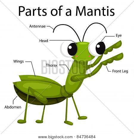 Illustrator parts of a mantis