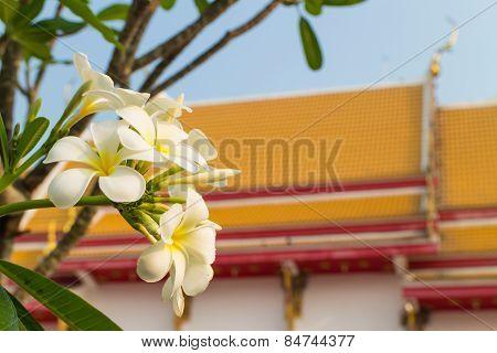 plumeria flower under the sun light