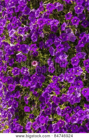 background bed of  purple petunias