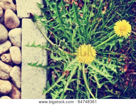 a dandelion along a landscaped walkway of stone pavers and gravel toned with a retro vintage instagram filter app