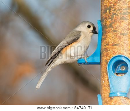 Tufted Titmouse looking for seeds at a bird feeder