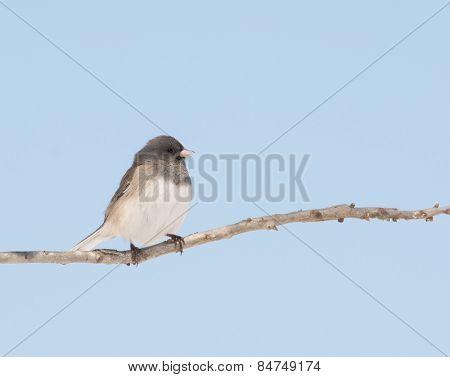 Dark-eyed Junco sitting in an Oak tree against pale blue winter sky