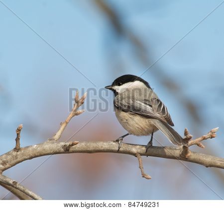 Carolina Chickadee perched on an oak limb in winter