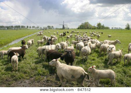 Two cows in dutch landscape 1