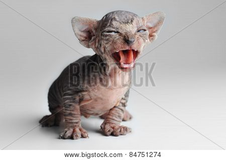 Cute Bald Baby Cat Close Up
