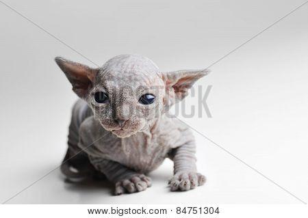 Cute Bald Baby Cat