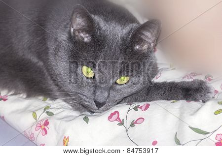 Brooding Grey Cat