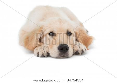 Dog stretched out looking at camera on white background