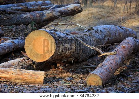 pine logs on meadow in forest