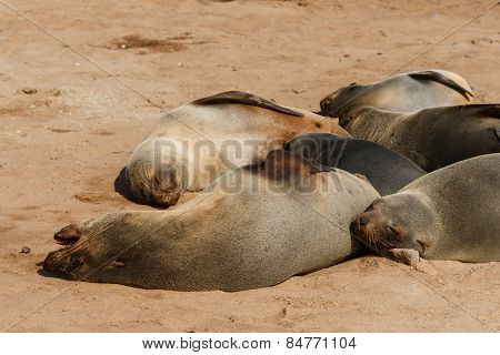 Cape Fur Seal Group Resting