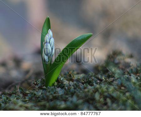 Spring flower Puschkinia